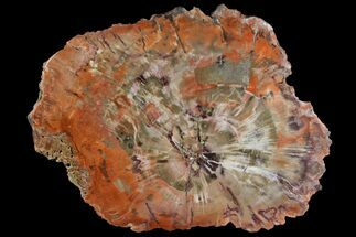 "7.45"" Polished Petrified Wood (Araucaria) Round - Arizona For Sale, #141389"