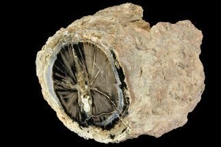 "Buy 3.8"" Wide Petrified Wood (Schinoxylon) Limb - Blue Forest, Wyoming - #141439"
