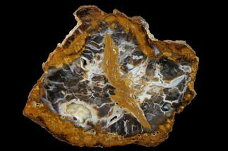"Buy 7.8"" Petrified Wood (Sycamore) Slab - Parker, Colorado - #141490"