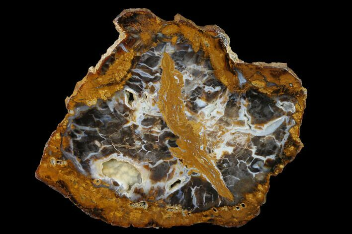 "7.8"" Petrified Wood (Sycamore) Slab - Parker, Colorado"