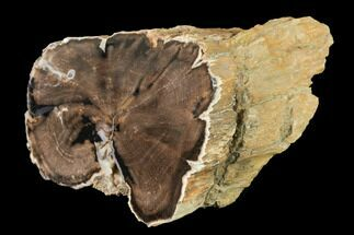 "3.3"" Wide Petrified Wood (Schinoxylon) Limb - Blue Forest, Wyoming For Sale, #141473"