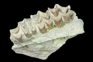 "Buy 2.4"" Oreodont (Merycoidodon) Jaw Section - South Dakota - #140920"