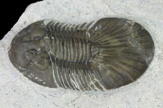 "Bargain, 1.6"" Scabriscutellum Trilobite - Morocco For Sale, #142178"