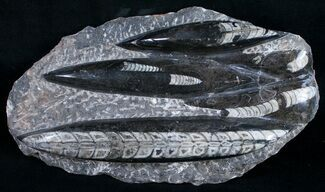 "Buy Polished Orthoceras (Cephalopod) Plate - 8.5"" - #9754"
