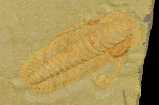 "2.05"" Protolenus Trilobite With Pos/Neg - Tinjdad, Morocco For Sale, #141872"