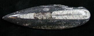 "Buy Polished Orthoceras (Cephalopod) - 4.4"" - #9802"