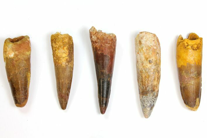 "Wholesale Lot: 3.1 to 3.9"" Bargain Spinosaurus Teeth - 5 Pieces"
