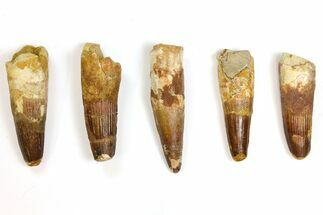 "Buy Wholesale Lot: 3 to 3.6"" Bargain Spinosaurus Teeth - 5 Pieces - #141502"
