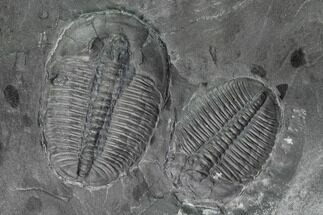 Elrathia kingii - Fossils For Sale - #139542