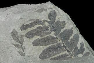 Neuropteris sp. - Fossils For Sale - #142404
