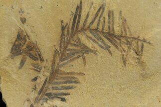 Metasequoia (Dawn Redwood) - Fossils For Sale - #142569