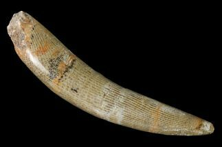 "Buy 3.7"" Polished Fossil Horn Coral - Morocco - #142690"