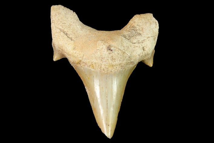 "2.2"" Fossil Shark Tooth (Otodus) - Morocco"