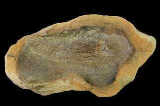 "5.4"" Cretaceous Fossil Leaf in Sandstone - Kansas For Sale, #143486"