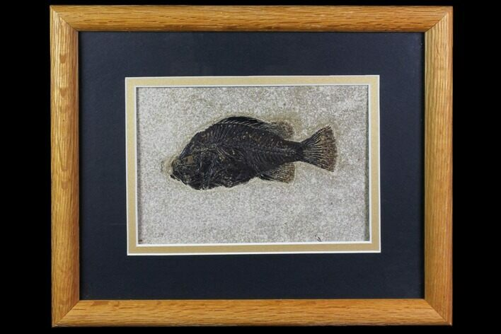"4.7"" Framed Fossil Fish (Cockerellites) - Wyoming"