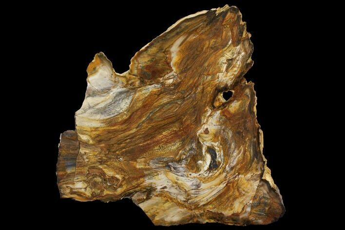 "12.8"" Unique, Brown's Ranch Petrified Wood Slab - Washington"