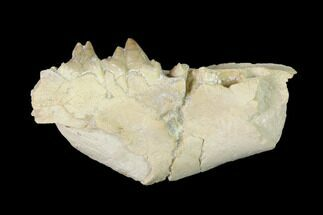 "Rare, 2.4"" Fossil Bear Dog (Daphoenus) Jaw Section - South Dakota For Sale, #143951"