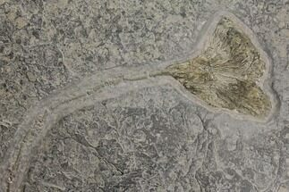 "Buy 30"" Pyrite Replaced Fossil Crinoid (Seirocrinus) - Holzmaden, Germany - #144121"