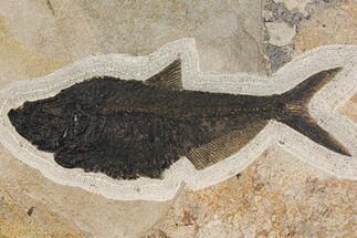 "18.9"" Fossil Fish (Diplomystus) From Wyoming - Black Friday Special! For Sale, #144209"