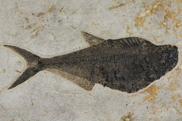 "Huge, 18.2"" Fossil Fish (Diplomystus) - Green River Formation"