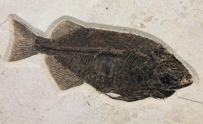 "Huge, 20.7"" Fossil Fish (Phareodus) - Exceptional Specimen!"