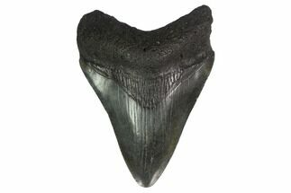 "Buy 2.98"" Juvenile Megalodon Tooth - Georgia - #144367"