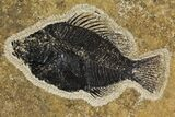 "4.25"" Framed Fossil Fish (Cockerellites) - Wyoming - #144131-1"