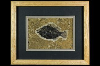"4.25"" Framed Fossil Fish (Cockerellites) - Wyoming For Sale, #144131"