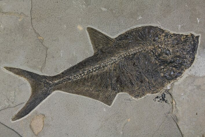 "Top Quality, 19.7"" Fossil Fish (Diplomystus) - Wyoming"