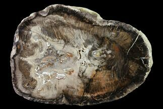 "10"" Polished Petrified Wood (Oak) Round - Oregon For Sale, #144677"