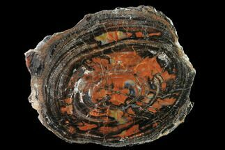 "11.4"" Red/Black Petrified Wood (Araucarioxylon) Round - Arizona For Sale, #144680"