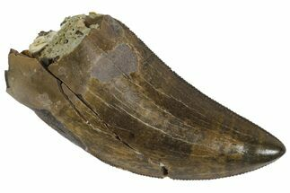 "Serrated, 1.41"" Tyrannosaur Tooth - Judith River Formation For Sale, #144833"