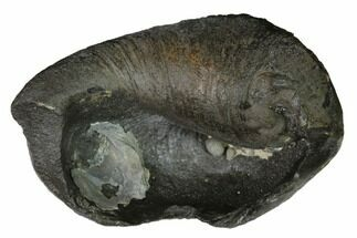 Whale (Unknown Species) - Fossils For Sale - #144915