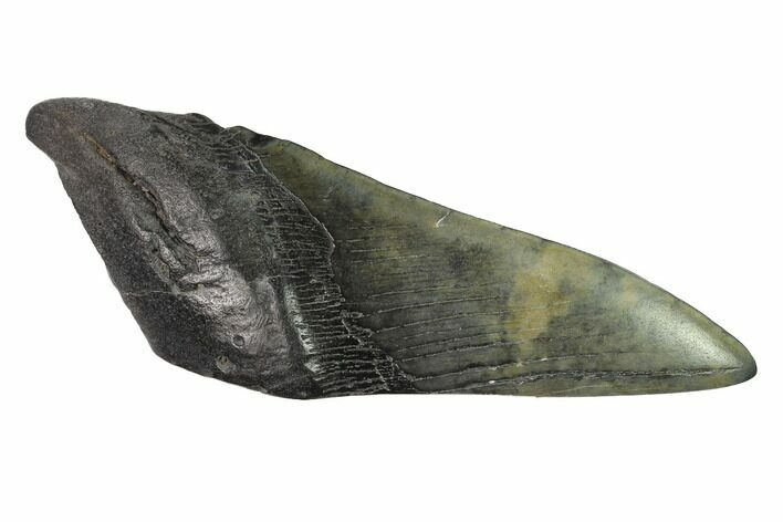 "5.9"" Partial, Fossil Megalodon Tooth ""Paper Weight"""