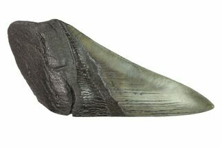 Carcharocles megalodon - Fossils For Sale - #144405