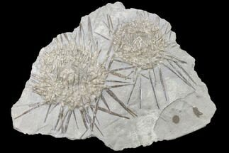 Buy Two Large, Mississipian Echinoids (Archaeocidaris) - Missouri - #145231