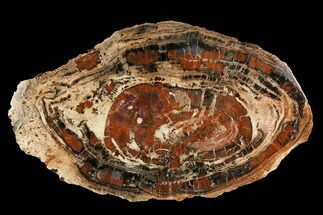 "22.5"" Red & Black Petrified Wood (Araucarioxylon) Slab - Arizona For Sale, #145283"