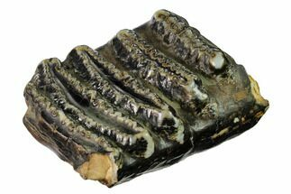 "4.6"" Partial Stegodon Molar - Indonesia For Sale, #146291"