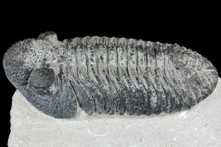 "5.6"" Prone Drotops Trilobite With White Patina - Mrakib, Morocco For Sale, #146597"