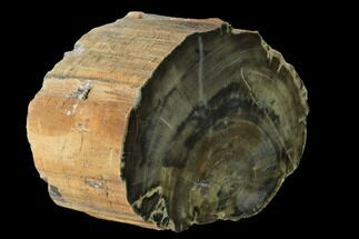 "Buy 7.1"" Polished Petrified Wood Log - Arizona - #147928"