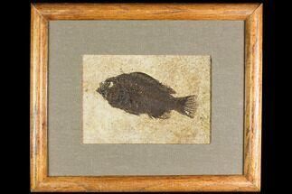 "Buy 5.1"" Framed Fossil Fish (Cockerellites) - Wyoming - #147187"