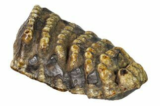 "Buy 6.7"" Partial, Fossil Stegodon Molar - Indonesia - #148201"