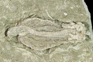 "1.6"" Fossil Crinoid (Abrotocrinus?) - Missouri For Sale, #148979"