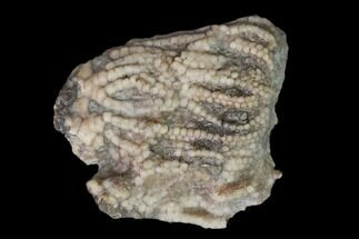 Unidentified Crinoid - Fossils For Sale - #149019