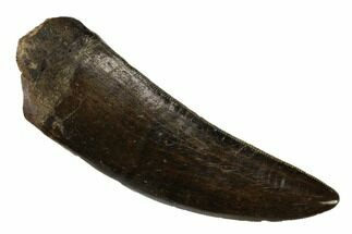 "Awesome, 2.5"" Serrated Tyrannosaur Tooth - Two Medicine Formation For Sale, #149111"