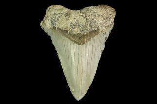 Carcharocles megalodon - Fossils For Sale - #149892
