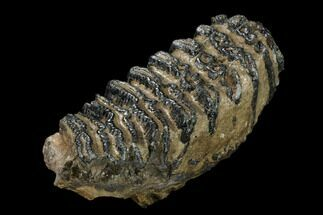 "Buy 8.4"" Southern Mammoth Lower M3 Molar - Hungary - #149764"