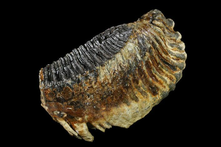 "10.5"" Fossil Woolly Mammoth Lower M3 Molar - North Sea Deposits"