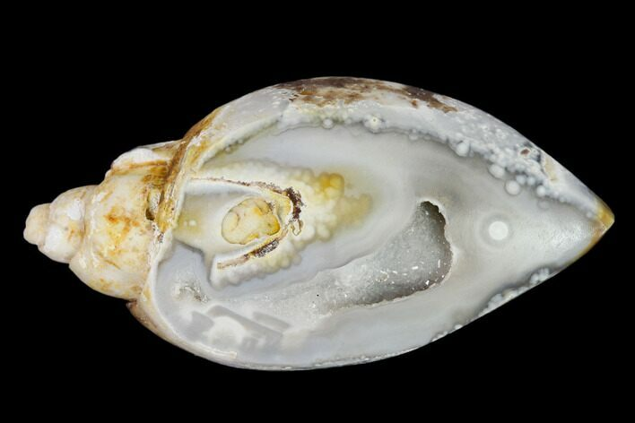"1.71"" Chalcedony Replaced Gastropod With Druzy Quartz - India"