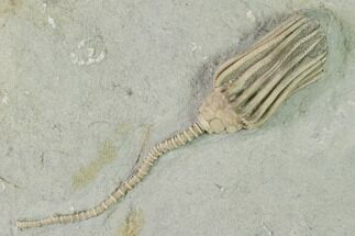 "3.2"" Fossil Crinoid (Macrocrinus) - Crawfordsville, Indiana For Sale, #150431"